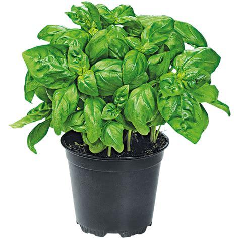 basilikum pflanze pflege basilikum im topf bei rewe bestellen rewe de