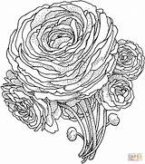 Flower Peony Coloring Pages Printable Adult Rose Adults Peonies Roses Advanced Version Supercoloring Colouring Drawing Flor Tablets Compatible Ipad Android sketch template