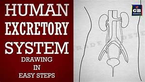 Excretory System Drawing For Kids
