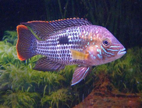 images  fresh water fish  pinterest