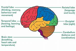 How Many Parts Is The Human Brain Divided Into  Is One Of