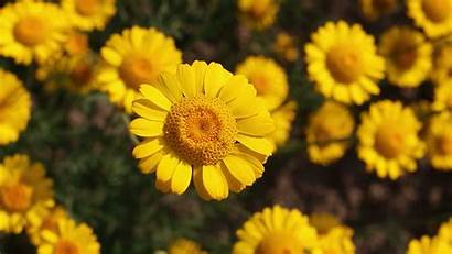 Laptop Yellow Wallpapers Daisy 1080p Flower Backgrounds