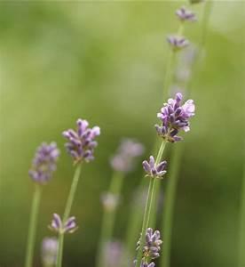 Verholzten Lavendel Schneiden : freudengarten lavendel richtig schneiden ~ Lizthompson.info Haus und Dekorationen