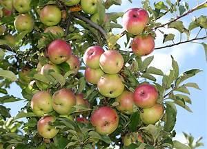 Apple Feast Of The Saviour