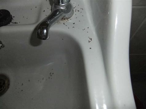 23 small bugs in sink how to get rid of small insects in