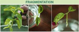 Fragmentation- Fragmentation in Animals and in Plants