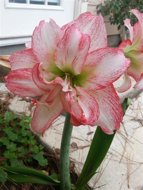 amaryllis plant care amaryllis plant care and collection of varieties garden org