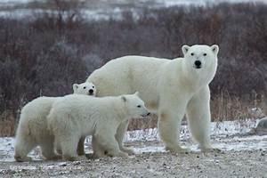 Po Tracker Photos Polar Bears International