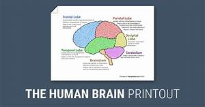 The Human Brain  Diagram   Worksheet