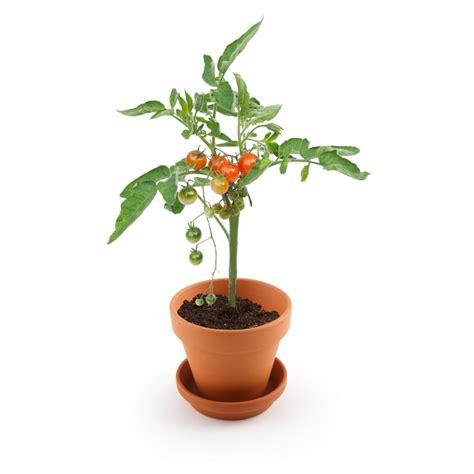 engrais pour tomates en pot tomate cerise 224 semer explore nature