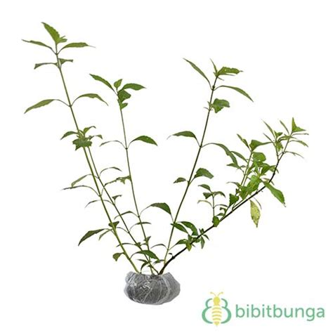 tanaman kumis kucing cats whiskers bibitbungacom