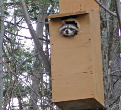 friday fun photo raccoon  owl box birds  blooms