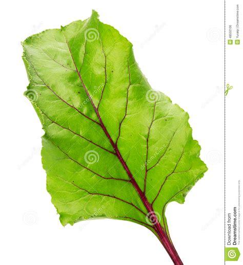 cuisiner les feuilles de betteraves rouges feuille de betterave d 39 isolement sur le fond blanc photo