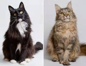 cat breeders me maine coon cat breed maine coons