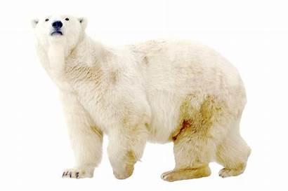 Bear Polar Clipart Transparent Double Exposure Pole