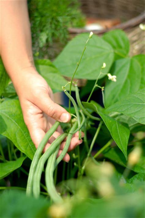 cuisiner les haricots mange tout semer des haricots verts haricot mangetout