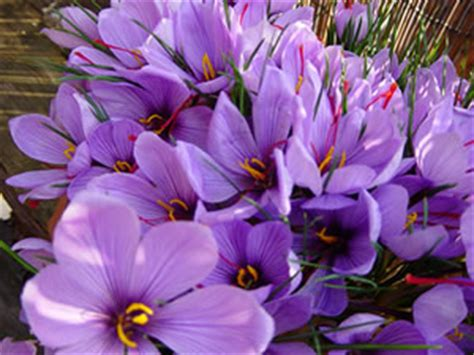 saffron crocus sativus bulbs for sale