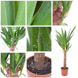 Palmen Für Draußen : palmenpflege und palmen arten ~ Michelbontemps.com Haus und Dekorationen