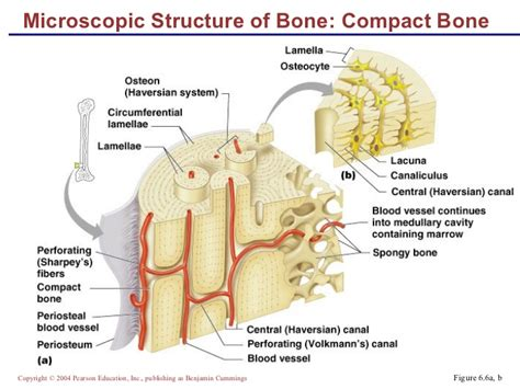 Bone models with a thin cortical layer and an open cell cancellous section at the proximal and distal ends. EXAMS AND ME : Haversian Canal System
