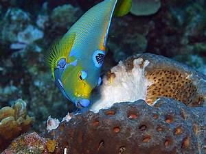 Life of Queen Angelfish   Life of Sea