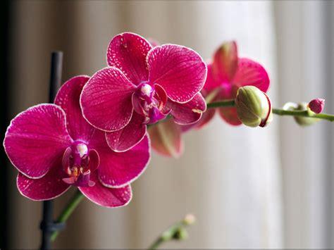 recettes cuisine bio faire refleurir une orchidée phalaenopsis