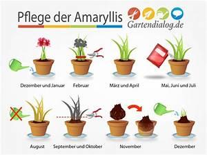 Amaryllis Pflege Nach Verblühen : amaryllis hippeastrum ist verbl ht pflege nach der bl te ~ Lizthompson.info Haus und Dekorationen