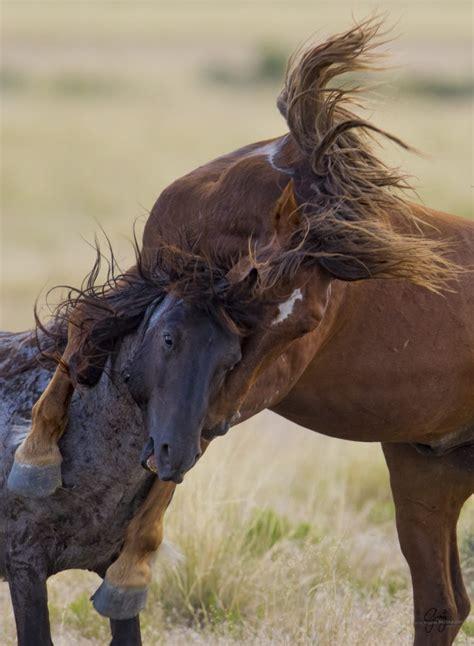 wild horses fighting herd mustangs utah onaqui fight stallions west july desert utahwildhorses photographs