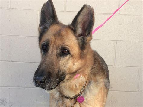 german shepherd dog dog  adoption  pomona ca adn