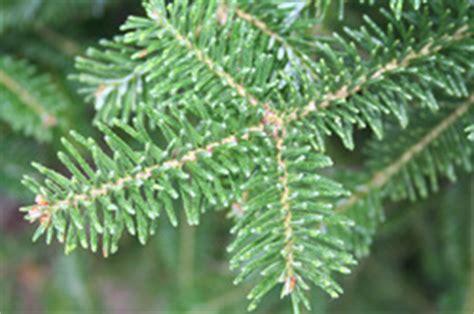 Fraser Christmas Tree Cutting by Canaan Fir Indian Creek Christmas Tree Farm