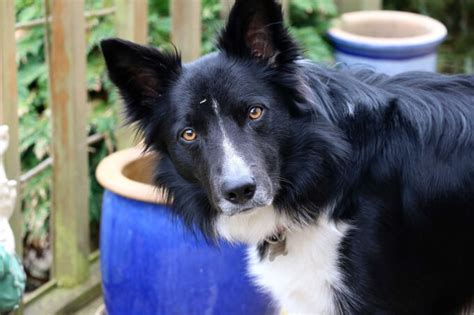border collie dog breed information pictures