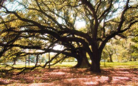 orleans city park tree  rampant mac