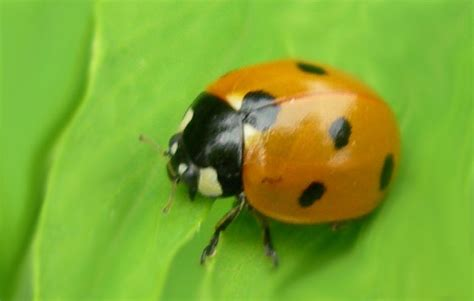 images de coccinelles les coccinelles jardiniers sans pesticides