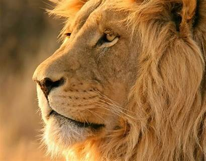 Lion Safari African Lions Leon Downloads Onlyone