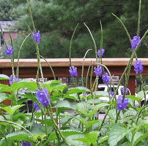 blue porterweed stachytarpheta urticifolia hummingbird