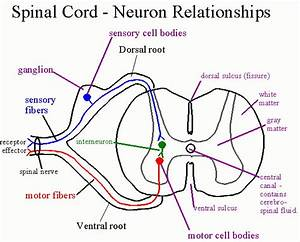 spinal cord nervous system Archives