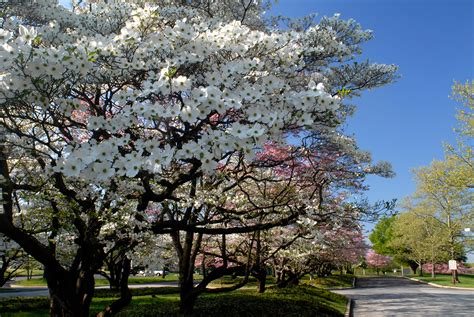 flowering trees dogwood trees history facts and growing tips fast growing trees com