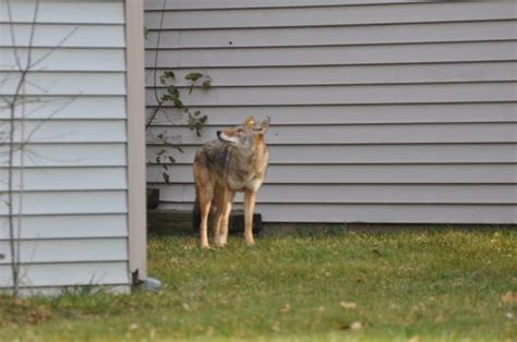 Coyote Management Strategies  Urban Coyote Research