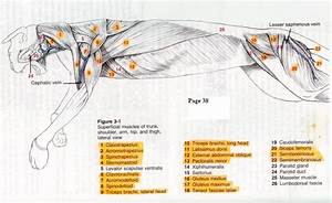 Cat Dissection Study Guide