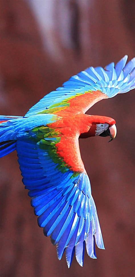 red  green macaw ultra hd wallpaper