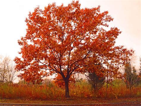 a tree in the fall fall tree beauty shawna coronado