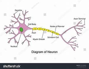 Labeled Simple Neuron Diagram