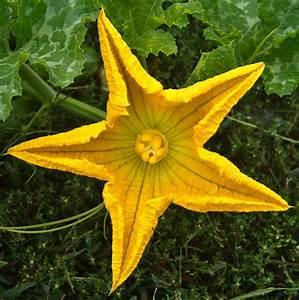 Pumpkin Flower 1 Photograph By Douglas Barnett