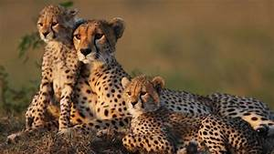 South African Cheetah Facts  Information  Hd Pictures And