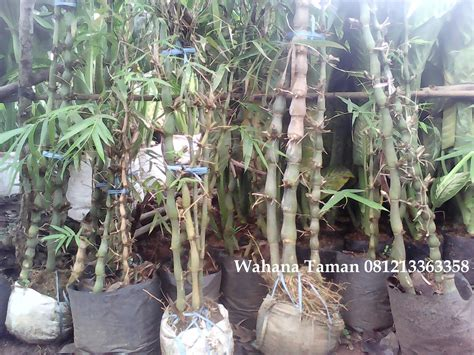 jual bambu nagin pohon bambu nagin murah tukang taman