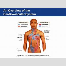 The Cardiovascular System The Heart  Ppt Download