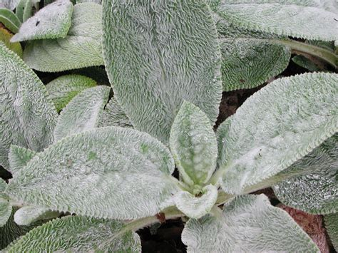 lambs ears lambs ear plant poisonous website of bonikale