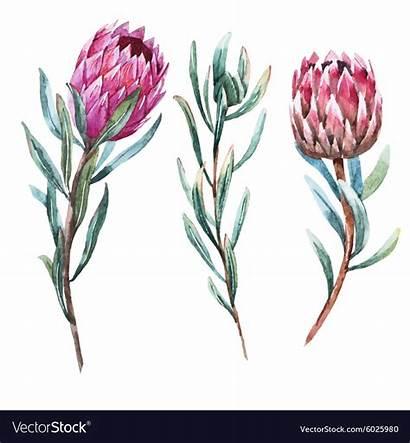 Protea Flower Watercolor Tropical Vector Drawing Vectors