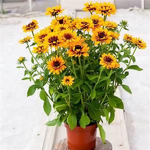 Sonnenhut Pflanze Kaufen : sonnenhut giggling smileyz xl online kaufen bei g rtner p tschke ~ Buech-reservation.com Haus und Dekorationen