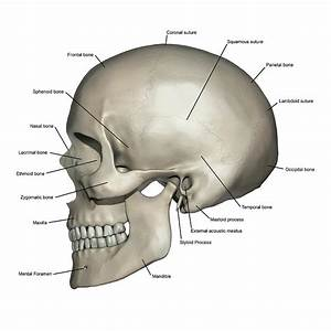Lateral View Of Human Skull Anatomy Photograph By Alayna Guza