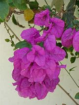Image result for pictures of fuchsia bougainvillea